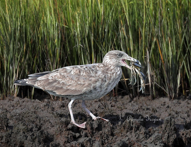 Juvenile gull with crab, Canon EOS-1D X MARK II, Canon EF 800mm f/5.6L IS