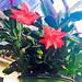 Christmas Cactus — Photo Courtesy Brian Wheat, AAF, PFCI, of Lafayette Florist, Gift Shop & Garden Center in Lafayette, Colorado. www.lafayetteflorist.com