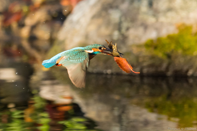 20171125-kingfisher-DSC_8582