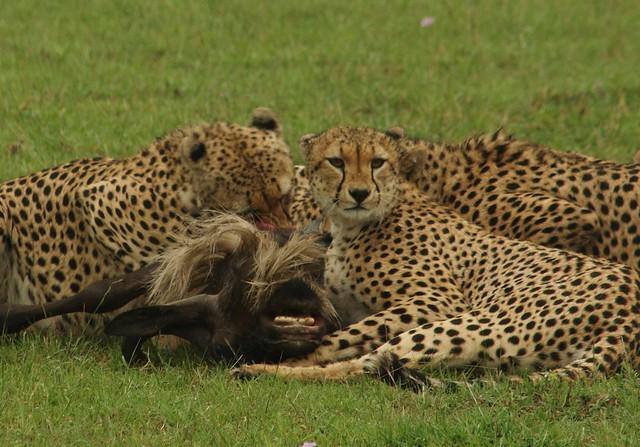 Cheetahs in the Maasai Mara