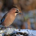 Eurasion jay in the snow