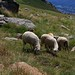Piemonte - Biellese:Valle Elvo: Roch delle Fate, dintorni: pecore