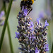 Lavendar_Bees-10