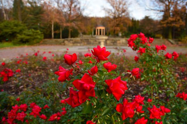 Red roses in November?