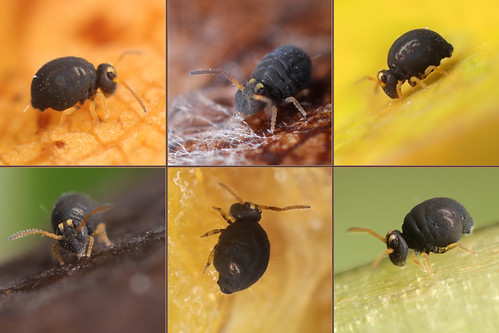 Sun, 11/05/2017 - 10:56 - A collage from 6 different springtails.  You can see the difference in the colors of the antennae and legs.