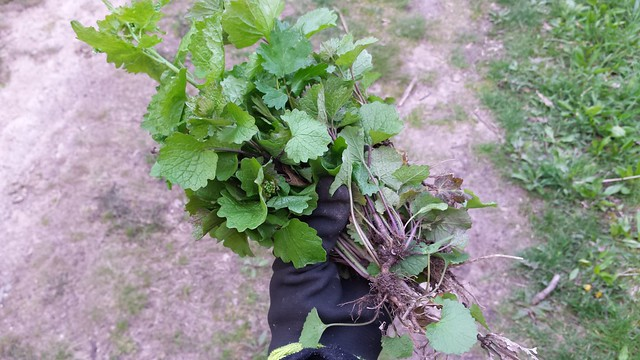 almost the same image, a gloved hand holding a bouquet of garlic mustard leaves, with a walking path in the background