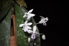 Phalaenopsis lindenii (Luzon, Philippines) Loher, J. Orchid