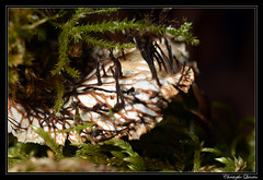 Rhizines de Peltigera polydactyla