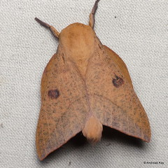 Saturniid moth, Adeloneivaia subangulata?