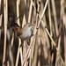 Cetti's warbler (Greylake)