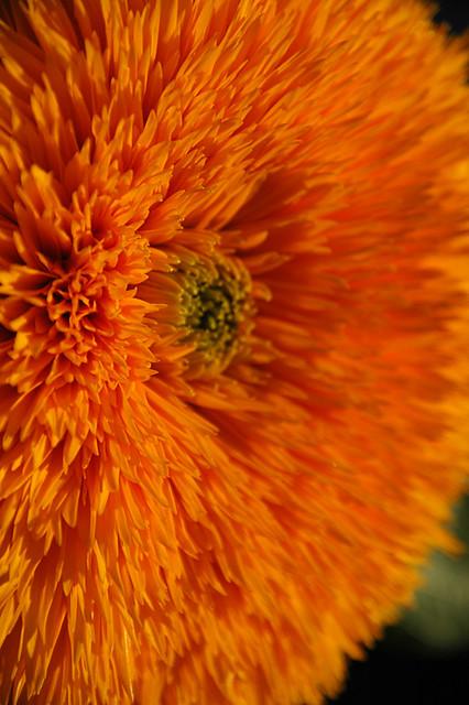 Yellow shaggy sunflower