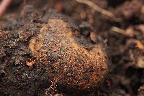 Deer Balls - Elaphomyces granulatus
