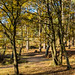 Autumn in the Silver Birch grove