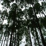 Eucalyptus urophylla canopy