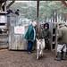 New Forest pony sale