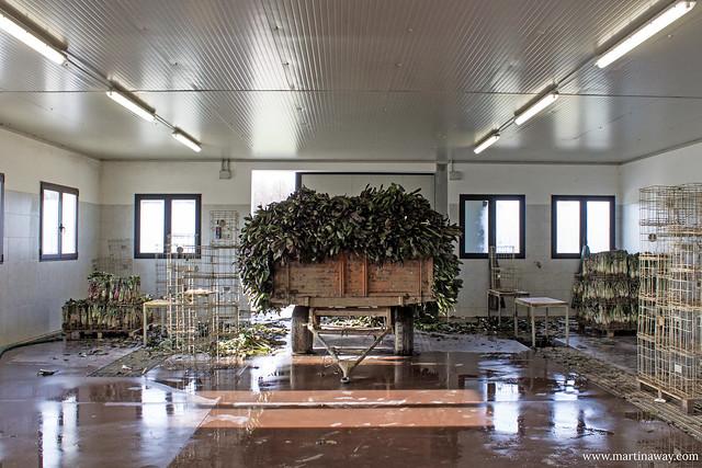 Prima raccolta di Radicchio di Treviso IGP