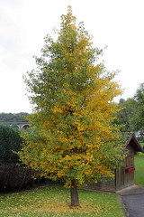 Another gingko