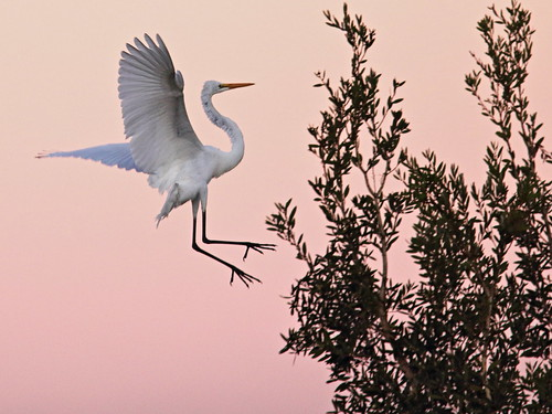 Great Egret before sunrise 20171108