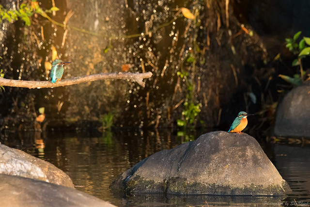 20171111-kingfisher-DSC_7091