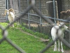 Como Park Zoo - Dall Sheep