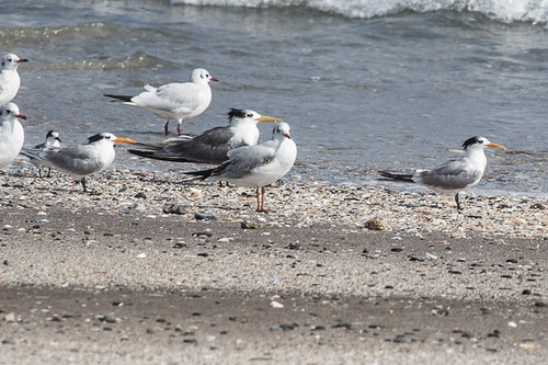 Various terns and gull