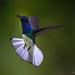 White-necked Jacobin (Florisuga mellivora) In-flight by Frank Shufelt