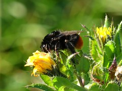 HolderRed-tailed Bumblebee