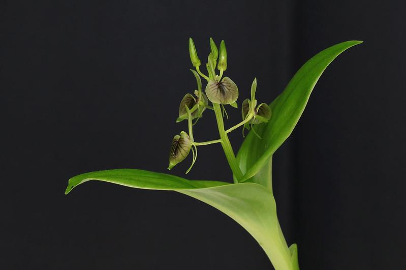 Liparis hostaefolia  シマクモキリソウ