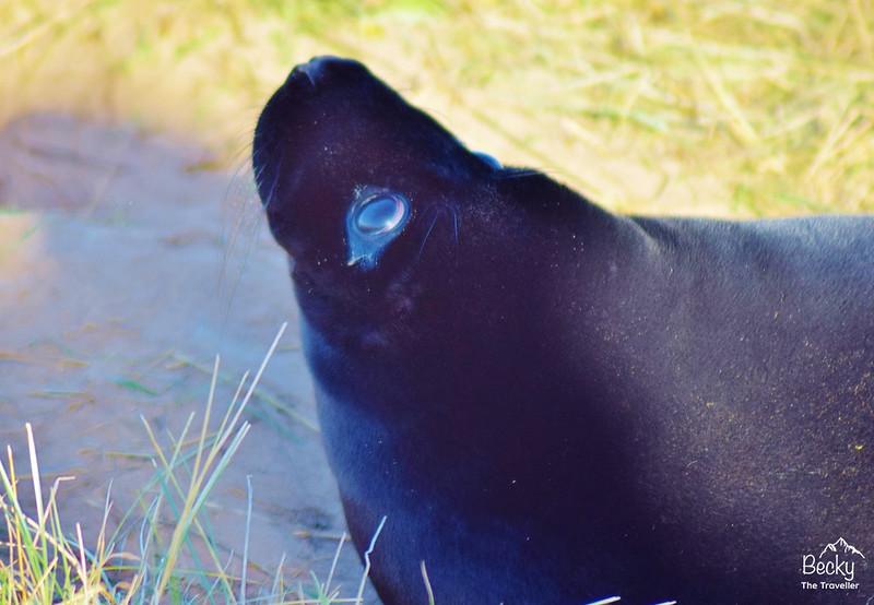 Donna Nook Nature Reserve - Black seal pup