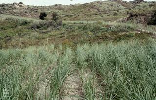 Meijendel dunes. Erosion of Rubus caesius with senecio jacobaea variant discodes planted. Ammocalam agrostis baticus - the fertile hybrid of Marram xcalama epigejos infis of latter is some of both