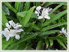Hedychium coronarium (White Ginger Lily, White Ginger, Butterfly Ginger Lily, Garland Flower)
