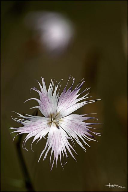 L'ultimo fiore.