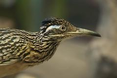 Geococcyx californianus - Greater Roadrunner