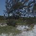 Small photo of Agave americana, Casuarina. Uniola North shore