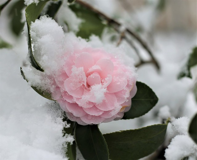 Frosted Camellia