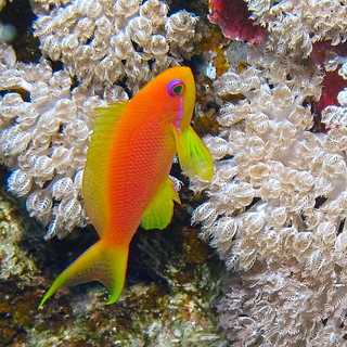 Anthias - sea goldie -  at Little Brother, Red Sea