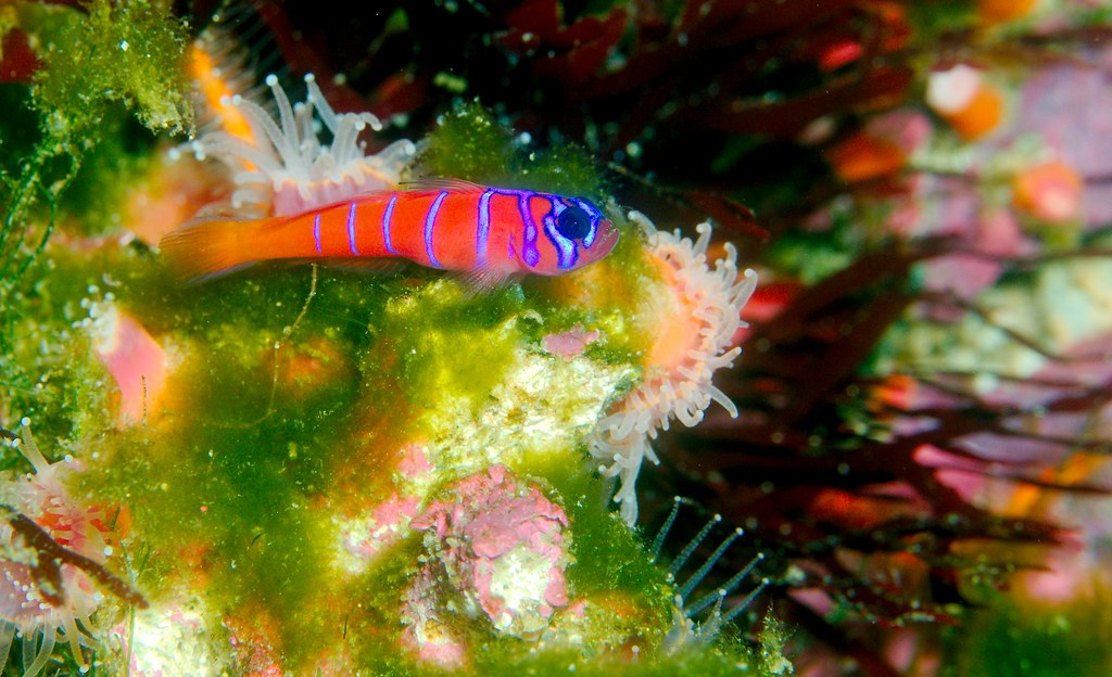 Bluebanded Goby_2