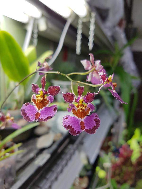 Les orchidées chez Sougriwa 26628994859_09eb9f84e0_c