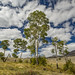 Aspen Trees - Yellowstone National Park by Xiang&Jie