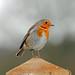 Rockin' Robin!