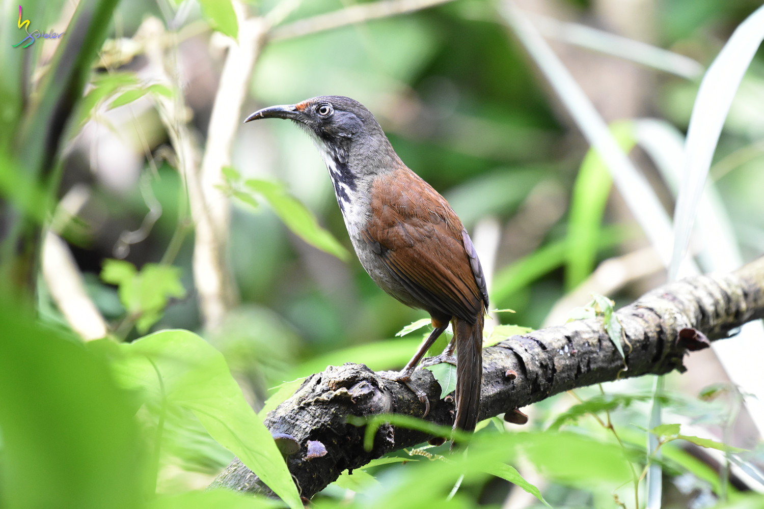 Rusty-cheeked_Scimitar-Babbler_0742