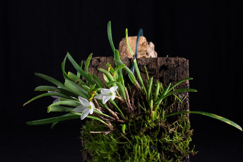 Miniatur-Orchideen Teil 4 - Seite 5 27290516839_d534b8a0f8_c