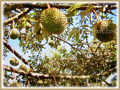 Prolific fruiting tree of Durio zibethinus(Durian, Common Durian, Civet Fruit, Durian Kampong in Malay) that grows to 27-40 m tall, 9 Nov 2017