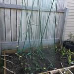 Climbing frame for peas