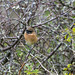 Stonechat - But This Time on Berry Head