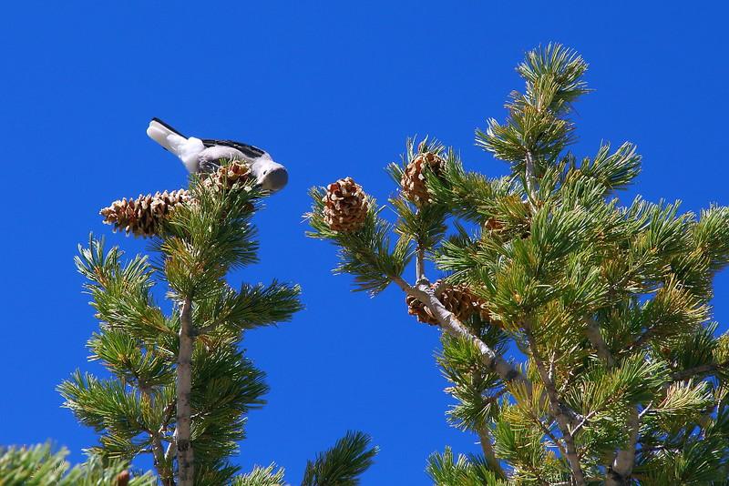 IMG_1308 Clark's Nutcracker on Limber Pine