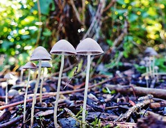 Delicate fungi