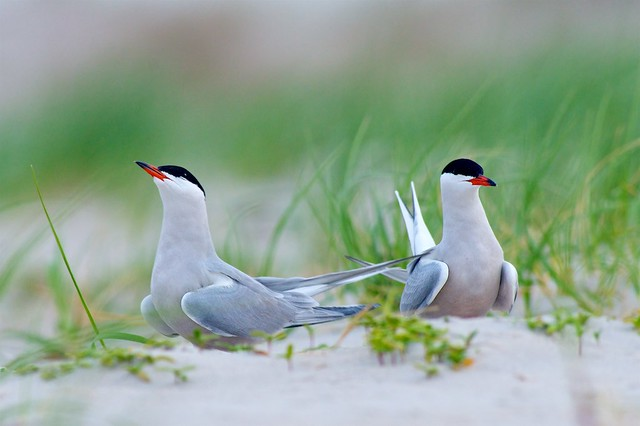 A Pair Of Common Terns