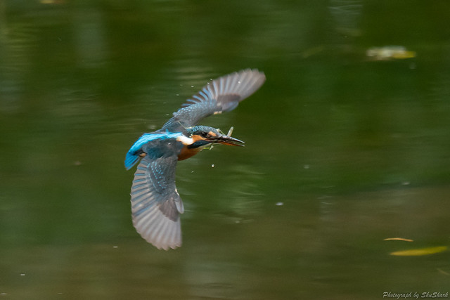 20171119-kingfisher-DSC_7734