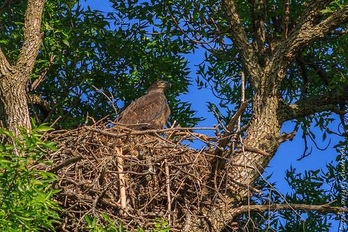 baldeagle haliaeetusleucocephalus minnesota rockvillecountyparknaturepreserve aerie bird birdofprey nest raptor seasons spring